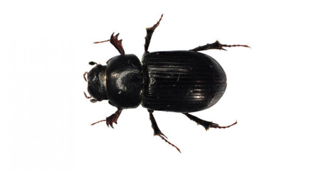 Yeni Cins ve Yeni Tür Olan Böcek Bilim Dünyasında Bosphorus Bariscercii Olarak Adlandırıldı